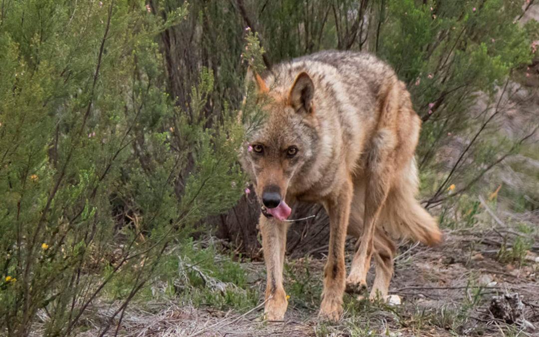 El último ataque de lobos en la localidad de Tabladillo (León) se salda con 34 ovejas muertas y la desesperación de un ganadero