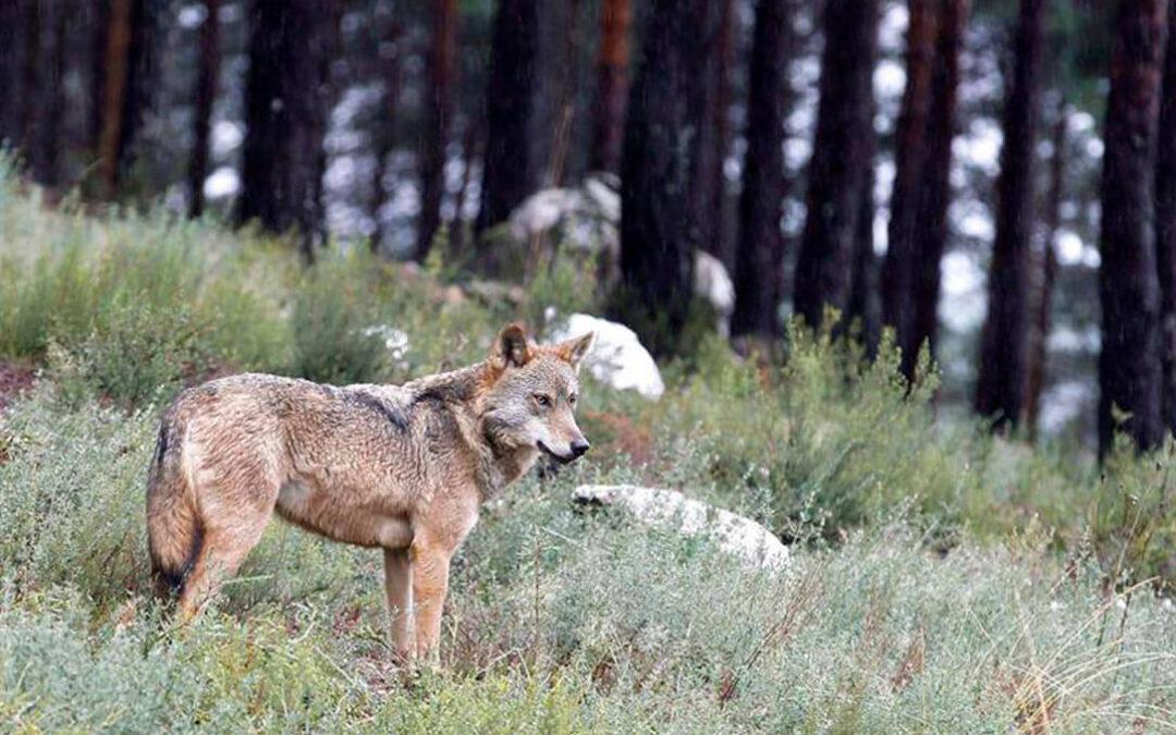 El último ataque de un lobo en Salamanca se produce junto a la última vivienda del municipio de Hinojosa del Duero