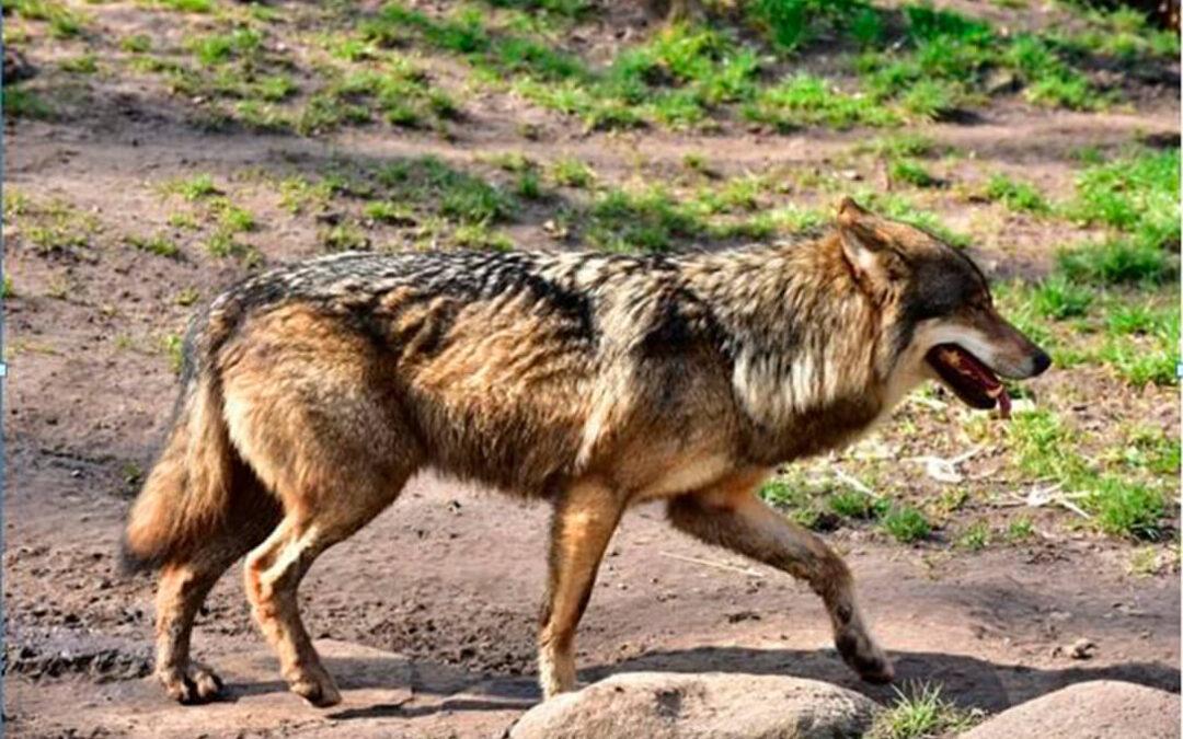La alimentación de los lobos les costó a los ganaderos de CyL dos millones de euros el pasado año tras perder cerca de 4.000 reses