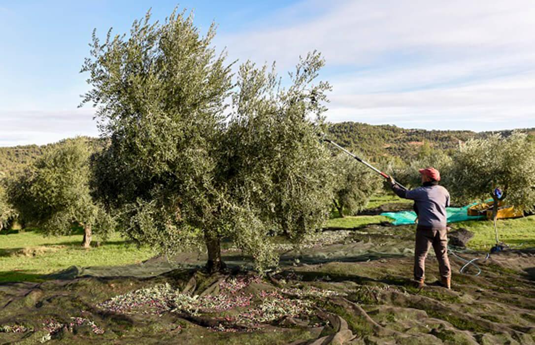 La falta de lluvia pasa factura y los productores prevén una bajada del 33% de la cosecha de aceite de oliva en Cataluña