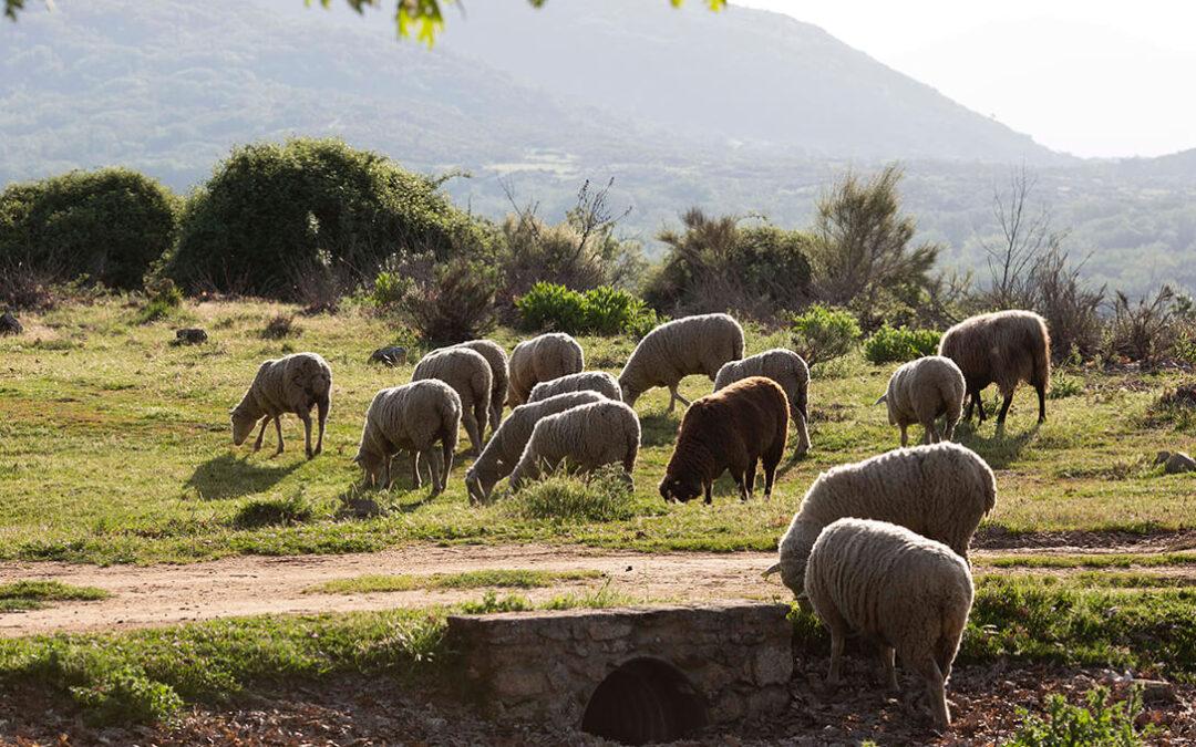 Trabajar por el medio ambiente disfrutando con la comida: Consumir carne de ovino y caprino previene los incendios forestales
