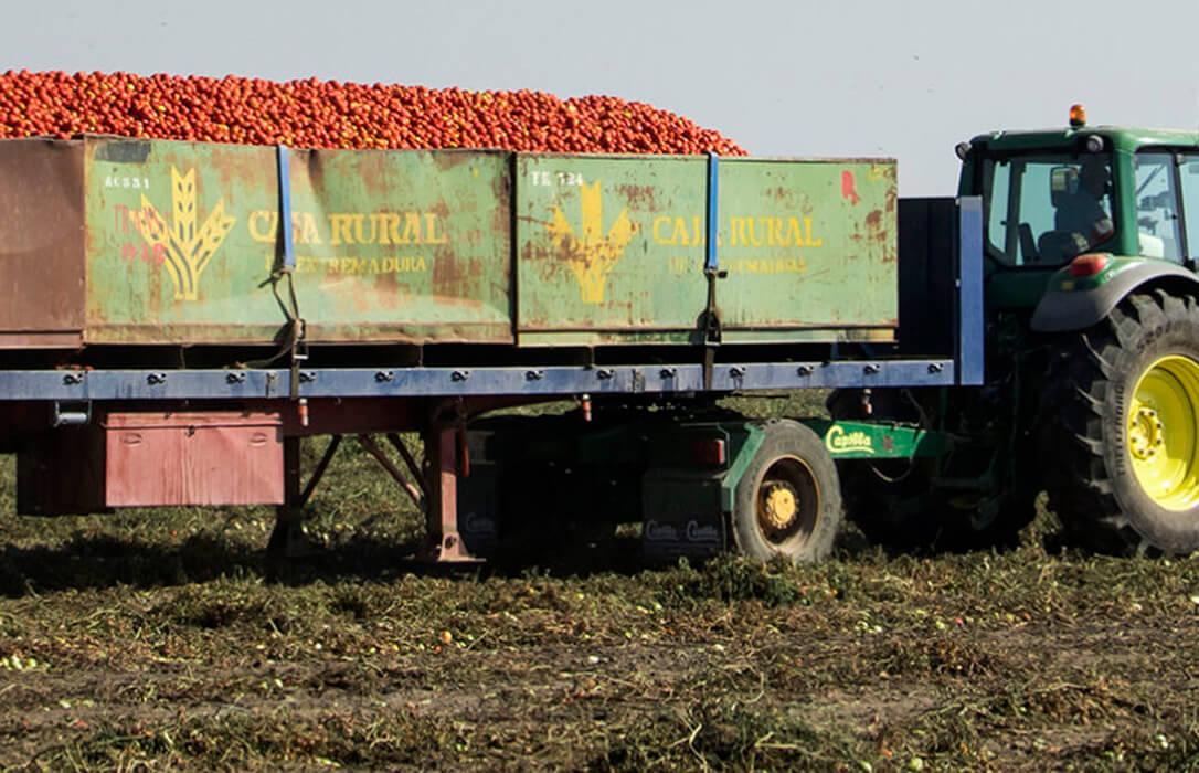 Plantean mejoras al seguro de tomate para industria para que cubra daños por altas temperaturas persistentes