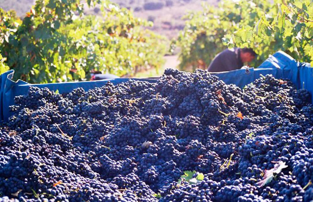 La Interprofesional del Vino pone a disposición del sector para el cálculo de los costes de producción de uva en cada región de España