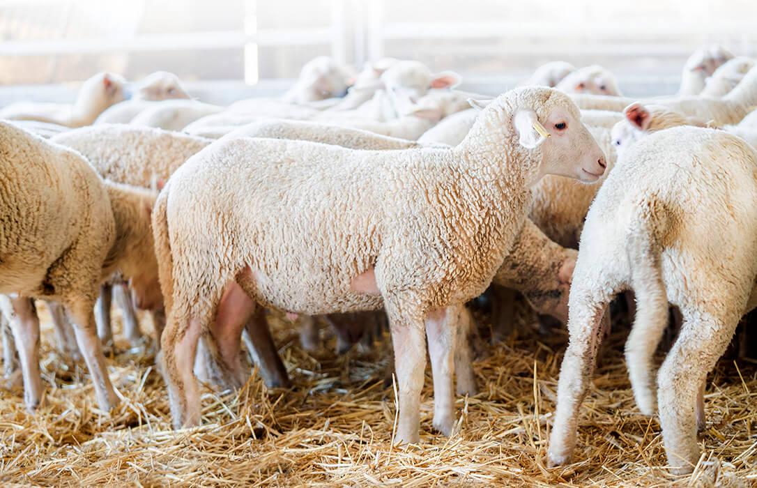 Alimentación animal COVAP lanza su nuevo pienso especial extra para corderos con nuevos aditivos naturales