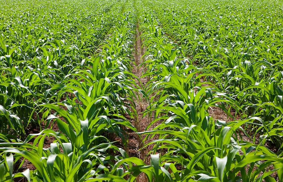 Deja de cotizar el maíz en la Lonja de León a la espera de la nueva cosecha que podría arrancar ya en este mes de octubre