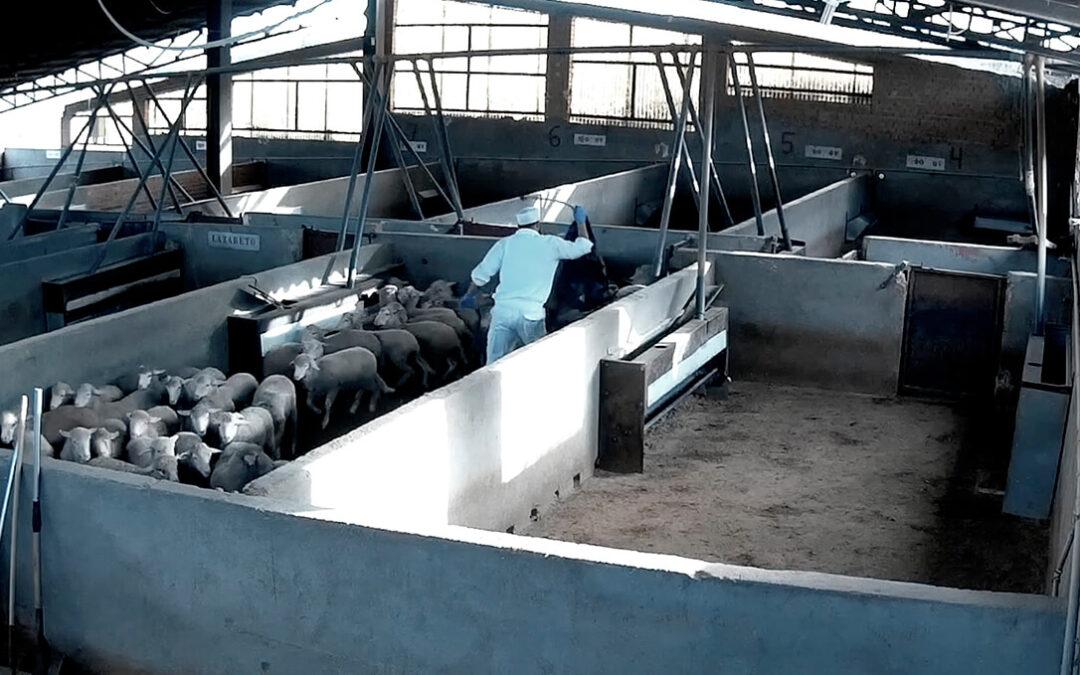 Imágenes de irregularidades en el bienestar animal en un matadero reabre el debate de reforzar las cámaras de videovigilancia