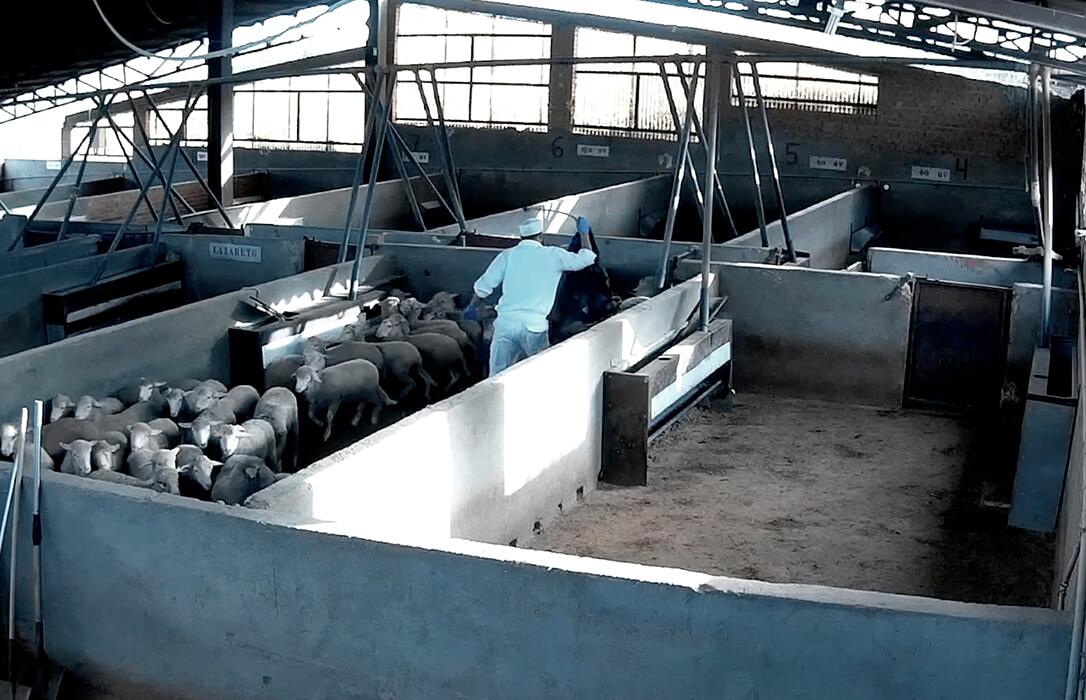 Imágenes de irregularidades en el bienestar animal en un matadero reabre el debate de reforza las cámaras de videovigilancia