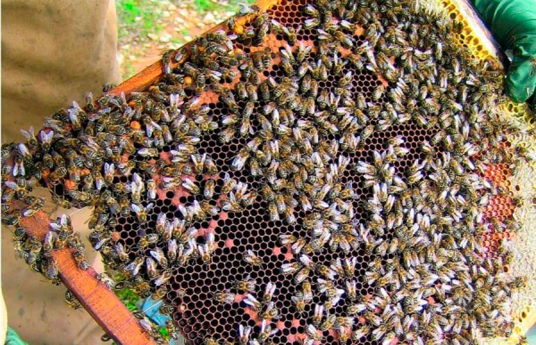La Pinyolà, la estocada final a los apicultores de la Comunitat con sanciones de hasta 60.000 euros si producen miel de Azahar