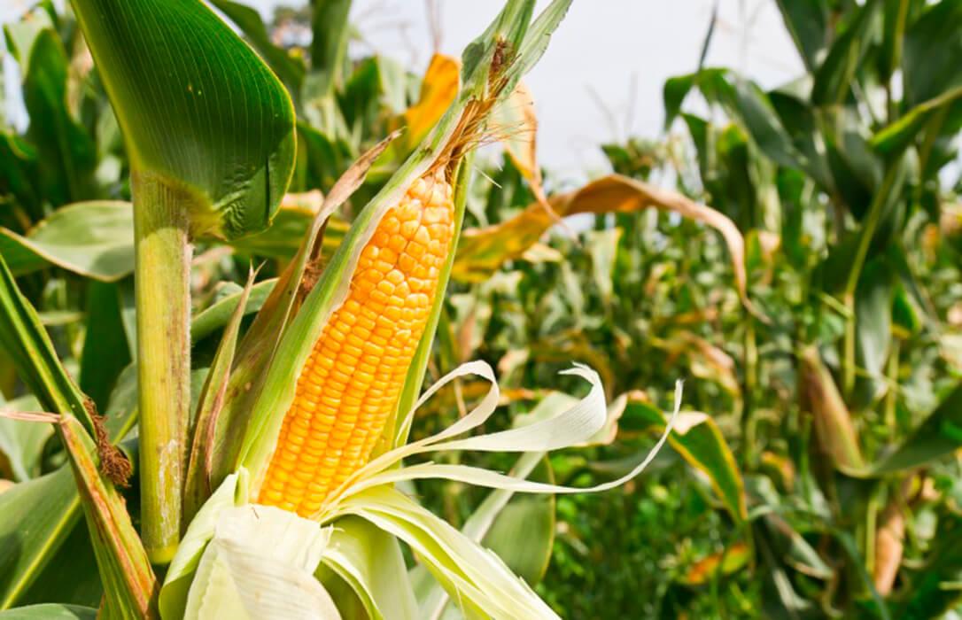 La producción de maíz caerá en Extremadura en torno a un 3% con precios que suben pero que aún son una «ruina»