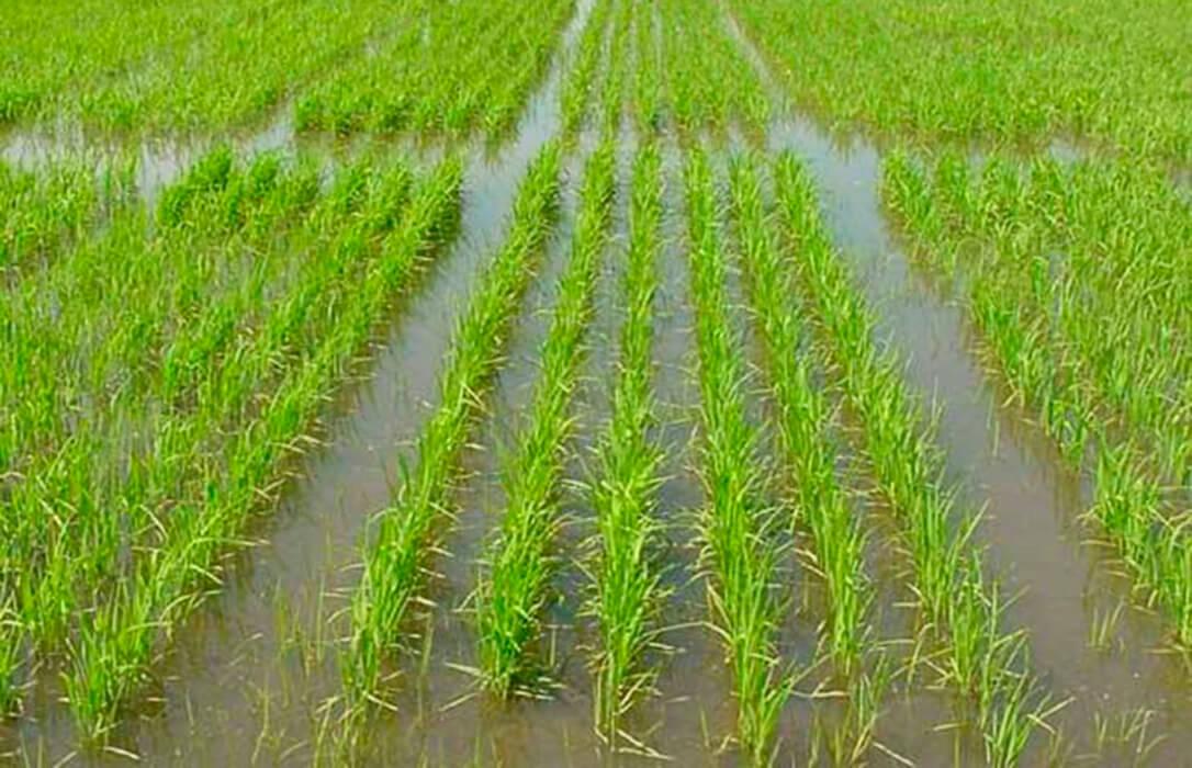Reclaman una nueva prórroga de los aranceles al arroz de Camboya y Myanmar para evitar más años de precios ruinosos