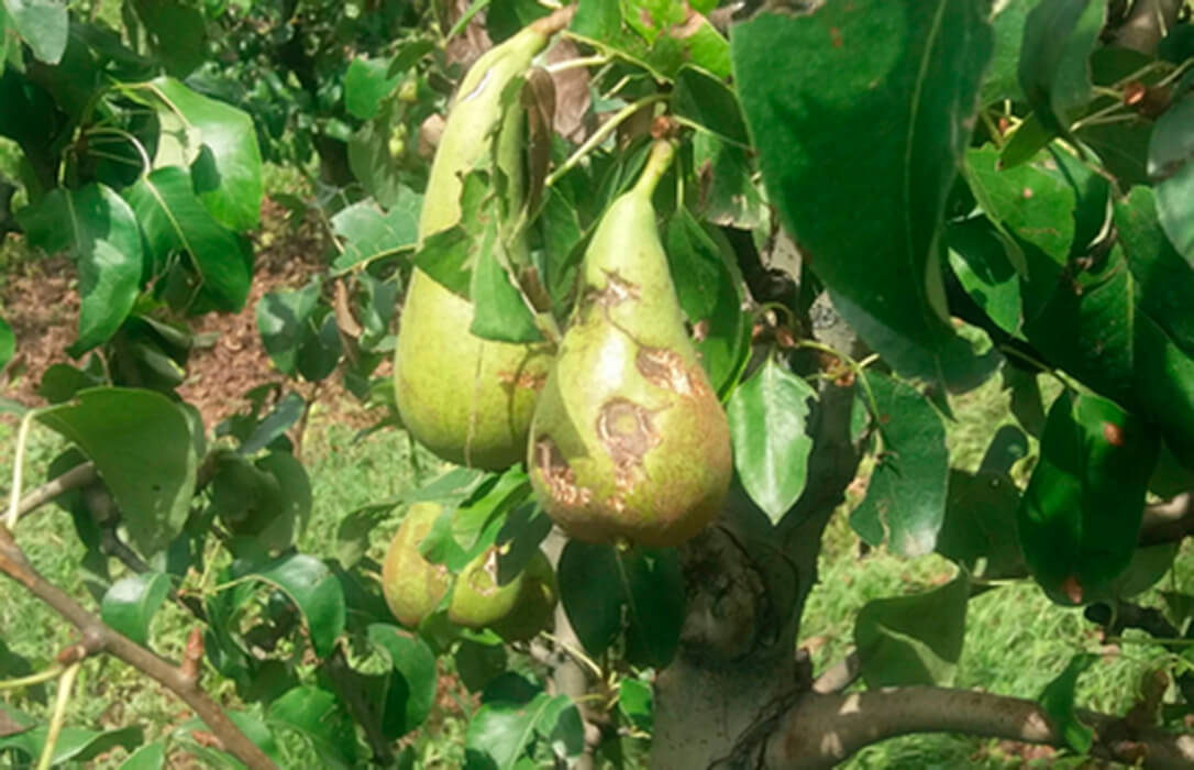Las indemnizaciones a los fruticultores se elevan a cerca de 130 millones de euros por los siniestros ocurridos en 2020