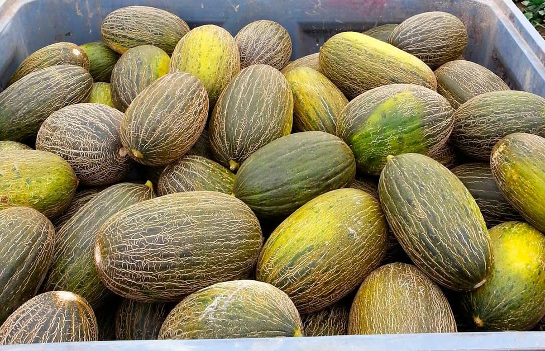 Finaliza la recogida de melón y sandía en Castilla-La Mancha tras una campaña de precios estables y razonables