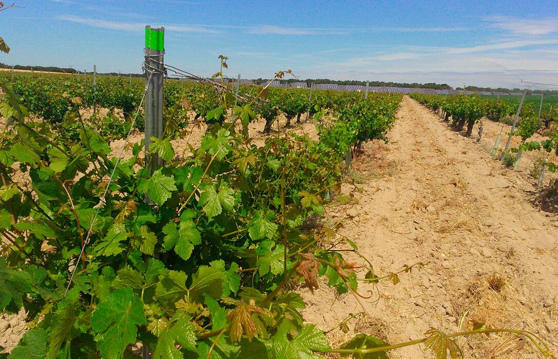 Precios ruinosos en la uva en Castilla y León: En zonas con DO se paga entre los 0,18 y 0,23 euros/kilo; sin DO a 0,11 euros/kilo