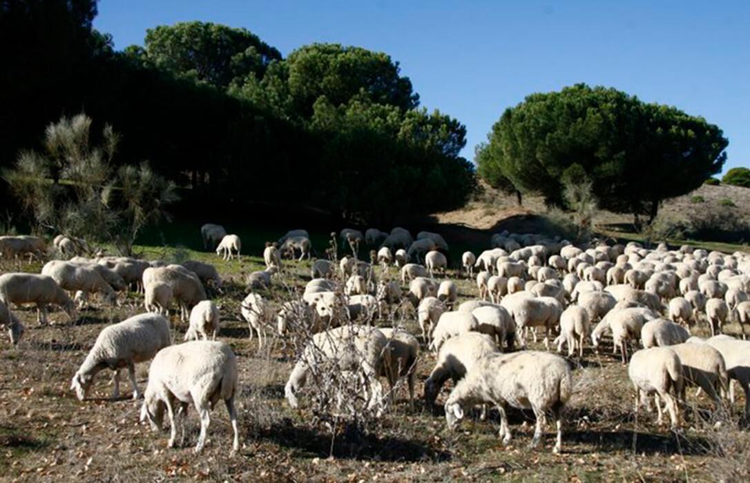 El lobo vuelve a atacar a 15 reses en Salamanca y ya hay denuncias de ataques hasta en La Rioja
