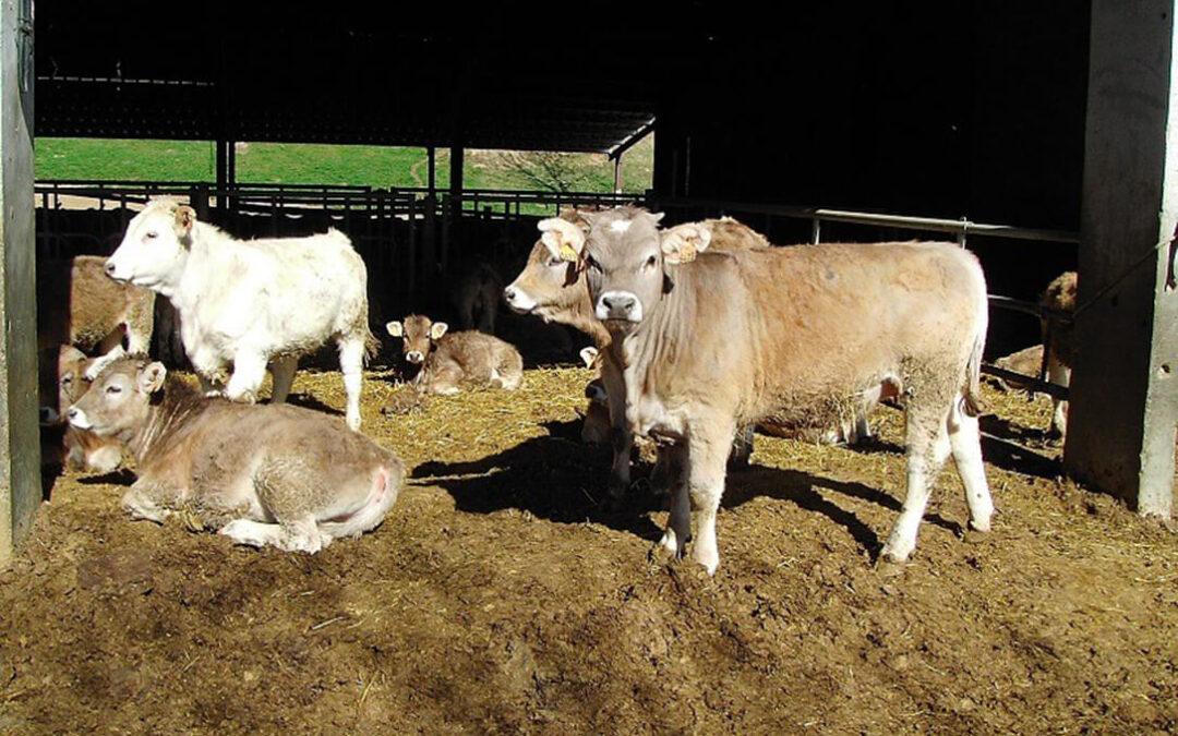 España pide a la CE la activación de medidas de apoyo al vacuno de carne tras el derrumbe de los precios por el Covid