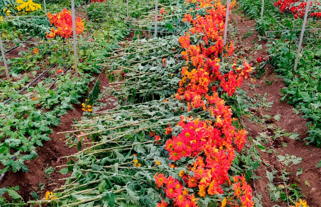 Se abre el plazo para las ayudas de  hasta 20.000 euros por beneficiario por la destrucción de flores y plantas ornamentales por el Covid