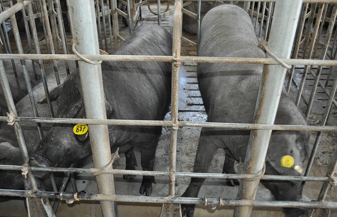 El Gobierno se 'estira' y aprueba la distribución de 1,46 millones en ayudas excepcionales para el sector del porcino ibérico
