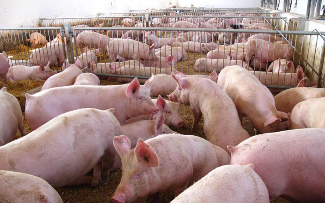 Aumenta la preocupación en el sector: «Los políticos ven venir la peste porcina como la covid, de brazos cruzados»