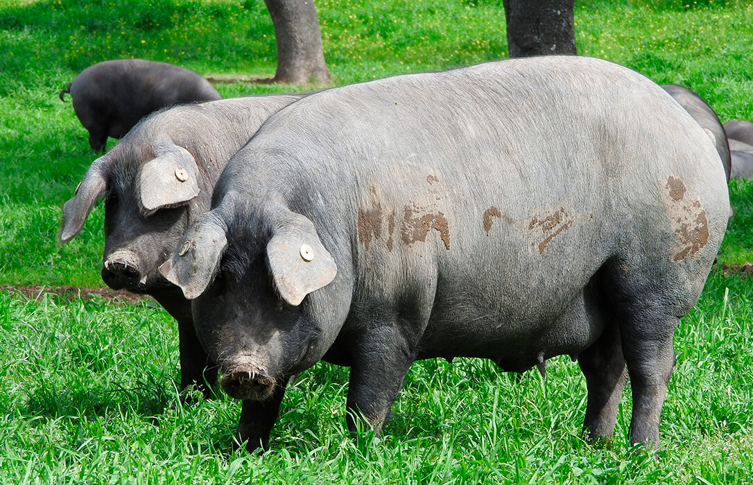 Advierten de la situación crítica del sector del porcino ibérico tras una caída en las ventas y del precio de casi el 50%