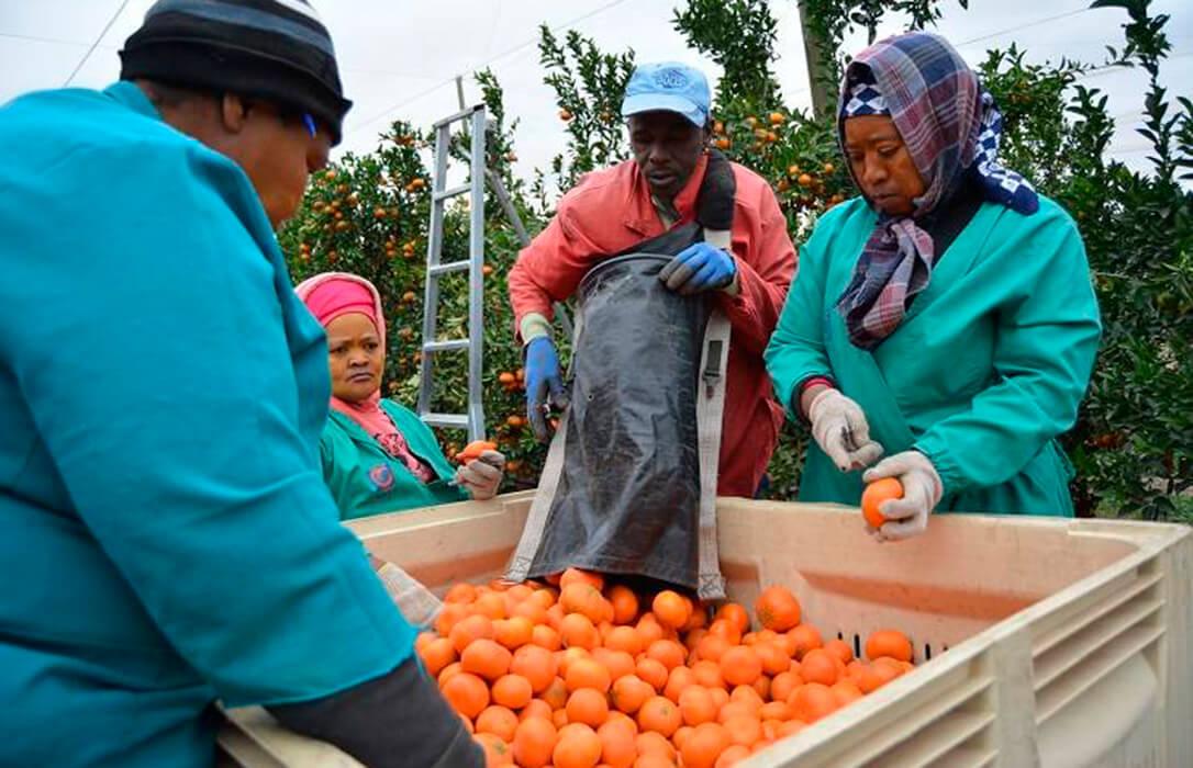 Piden la revisión del Acuerdo con Sudáfrica y que se consideren los cítricos como producto sensible en los acuerdo de libre comercio