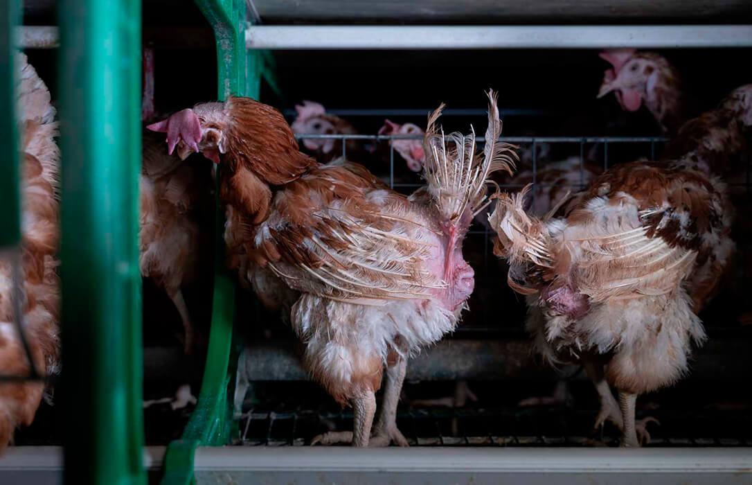 Los supermercados Consum se compromete a dejar de vender huevos procedentes de gallinas en jaulas a partir de 2025