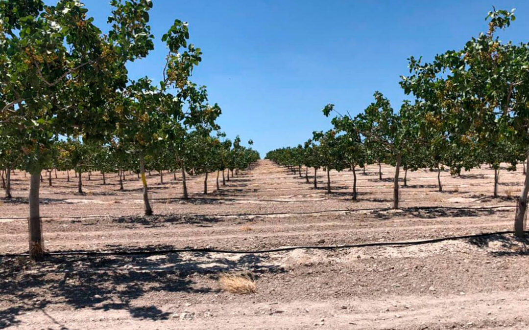 Dcoop refuerza su Sección de Frutos Secos al comenzar a comercializar los pistachos de sus socios