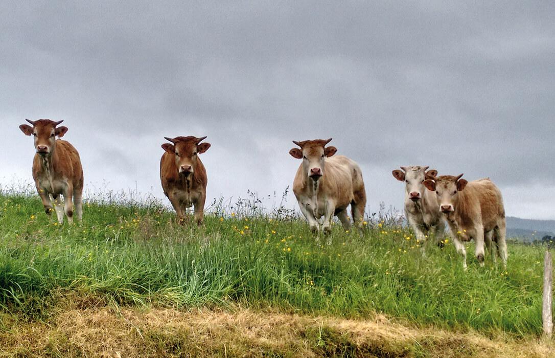 La bajada alarmante en los precios de la carne de vacuno hace saltar todas las alarmas al haber márgenes de rentabilidad mínimos