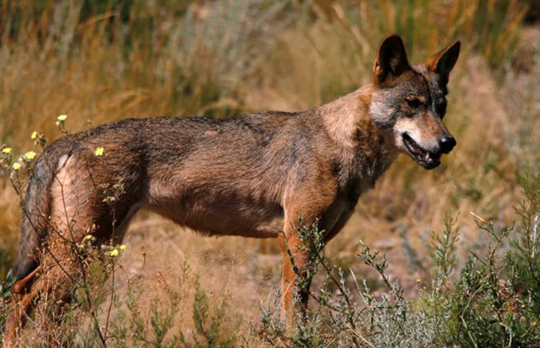 Investigan cómo evitar los ataques de lobo al ganado creando en estos depredadores rechazo al olor a vainilla