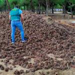 Diez detenidos de un grupo criminal por hurtar hasta 33.000 kg de piñas en Córdoba y venderlas en Huelva
