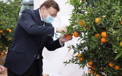 El sector y el Consell impulsan el consumo de los Cítricos Valencianos durante el Primer Corte de la Naranja
