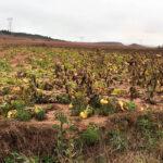 La borrasca Bárbara causa importantes daños en un girasol a punto de cosecharse y en la patata del norte de Palencia