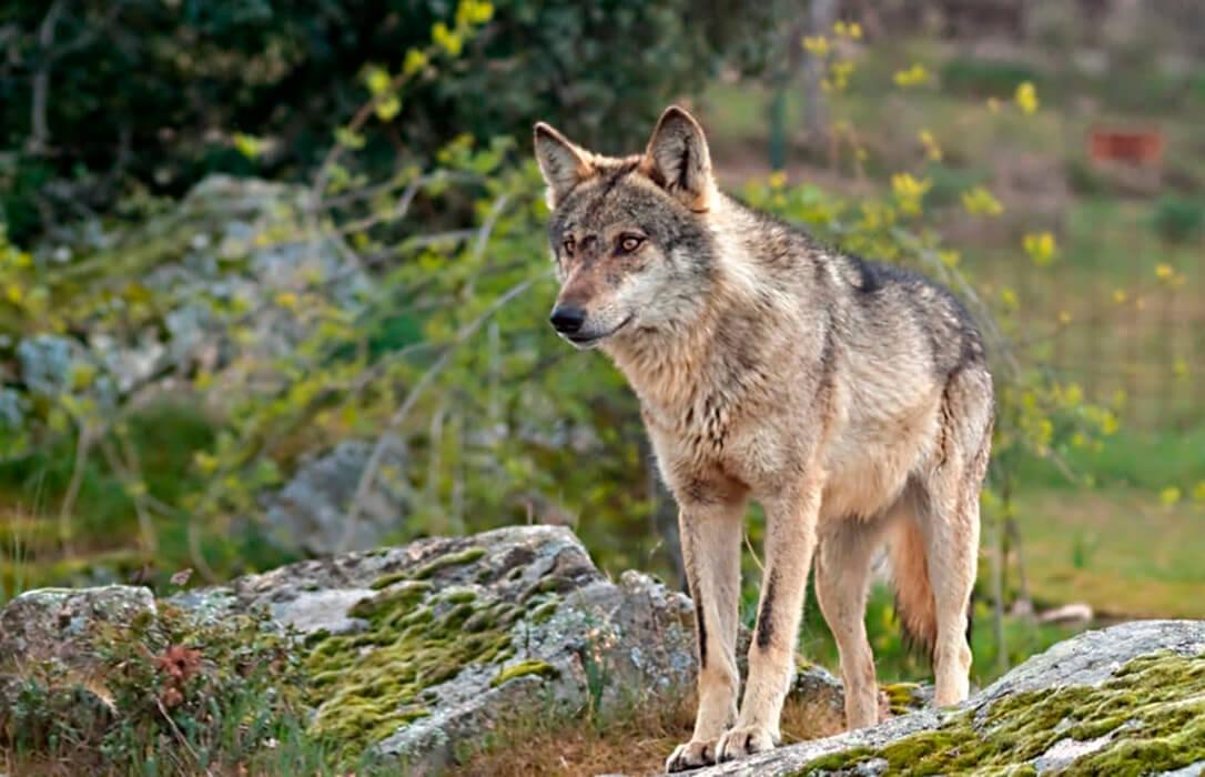 El Gobierno quiere que antes de final de año el lobo ibérico sea una especie protegida y se prohíba su caza en toda España
