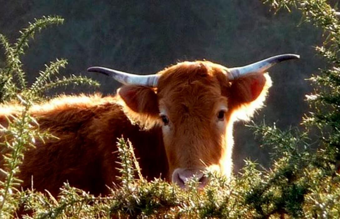 Navarra aprueba ayudas complementarias a las vacas nodrizas de 30 euros por animal para paliar los efectos del covid en el sector