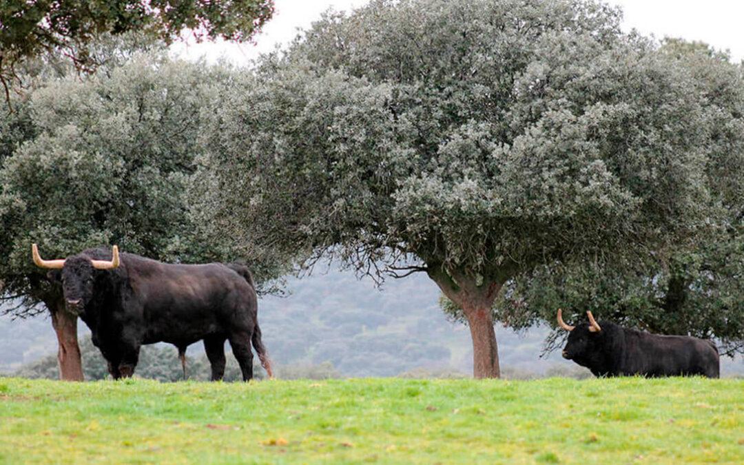 El Parlamento Europeo vota en contra de destinar fondos de la PAC a la cría de ganado de lidia con los votos del PSOE