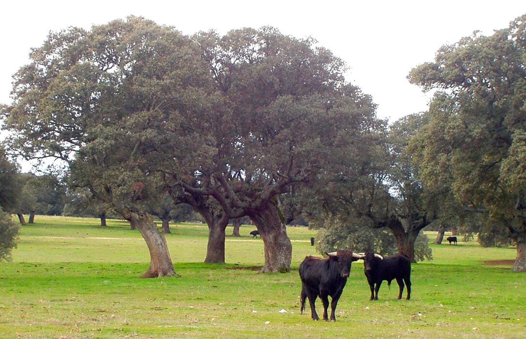 """Planas lo deja claro: La retirada de las ayudas de la PAC al toro de lidia «no tiene ninguna posibilidad de prosperar"""""""