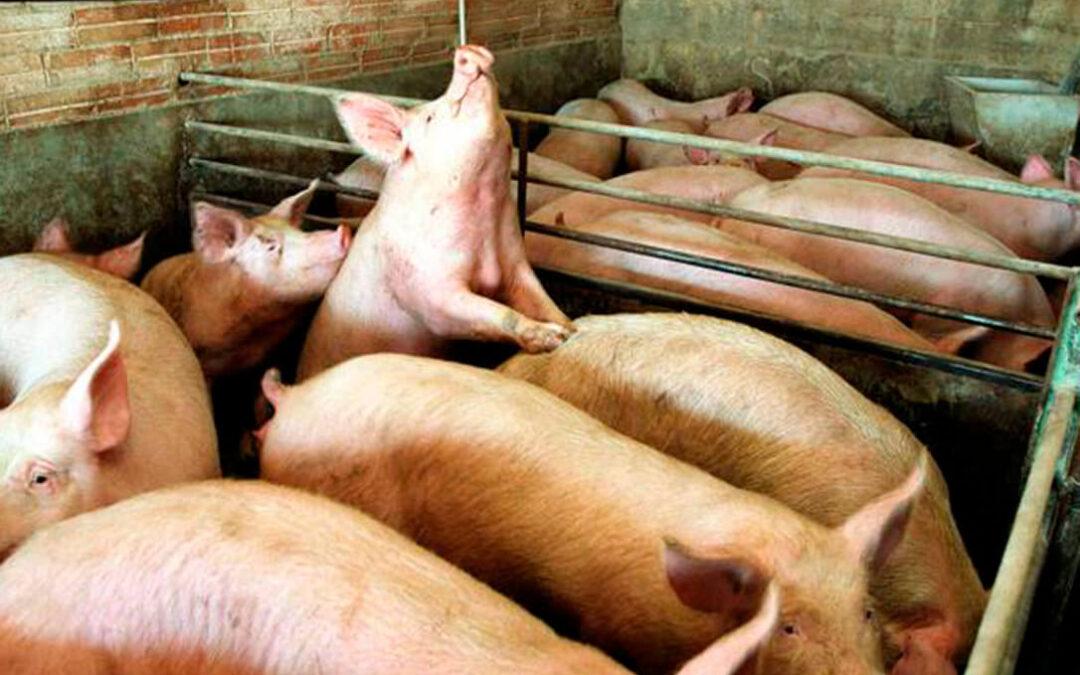Una seria advertencia: España tiene un riesgo «importante» de entrada peste porcina porque tiene hasta tres rutas posibles de llegada