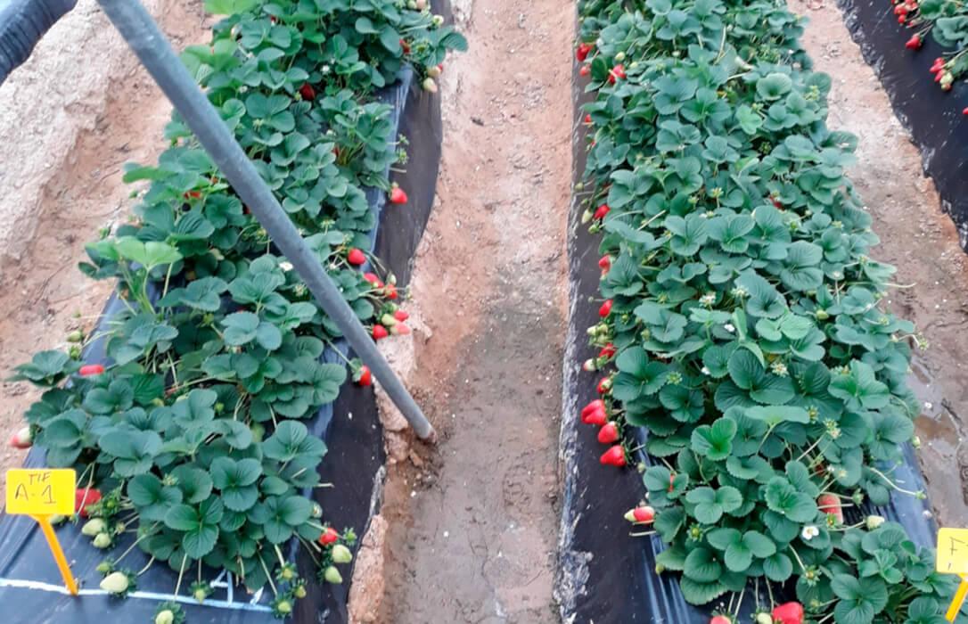 Apuesta por el el uso de plásticos TIF para reducir la dosis de fumigantes del suelo en explotaciones freseras