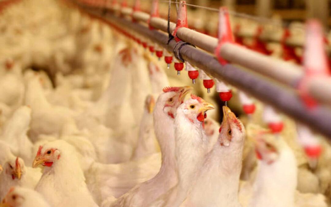El pollo español da otro salto al mundo: ICEX y Propollo aúnan esfuerzos para impulsar las exportaciones en el exterior