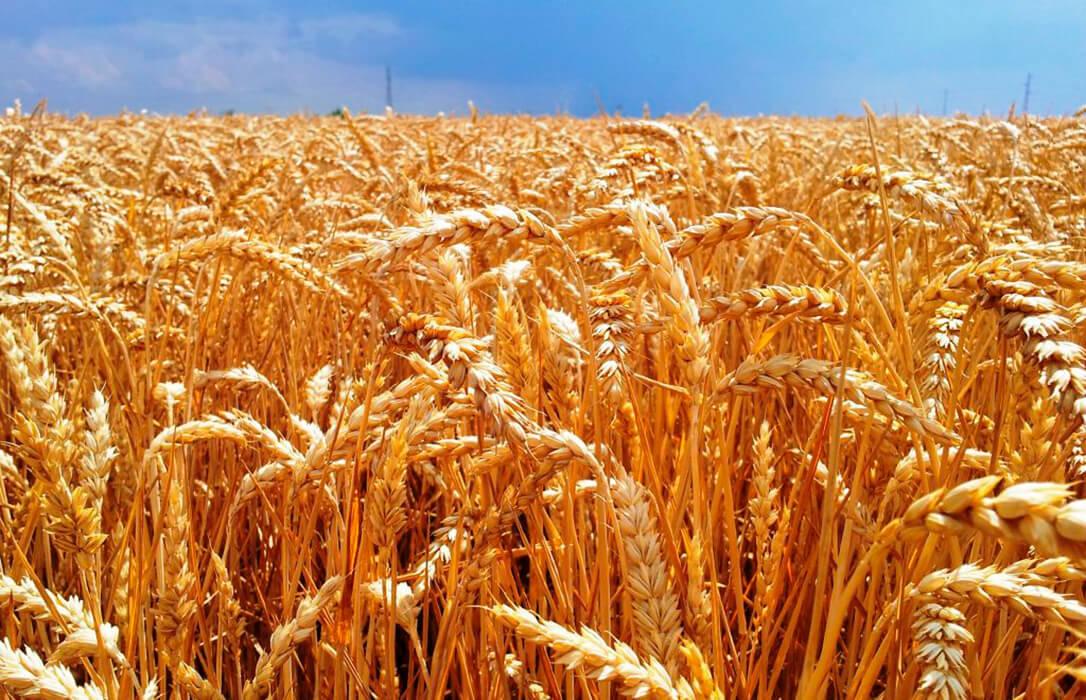 Los precios mayoristas de los cereales siguen su tendencia al alza con una cebada de malta que sube seis euros en solo siete días