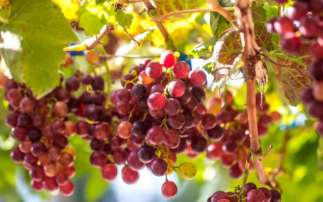 Apuesta para recuperar las variedades de uva autóctonas más resistentes al mildiu y al cambio climático