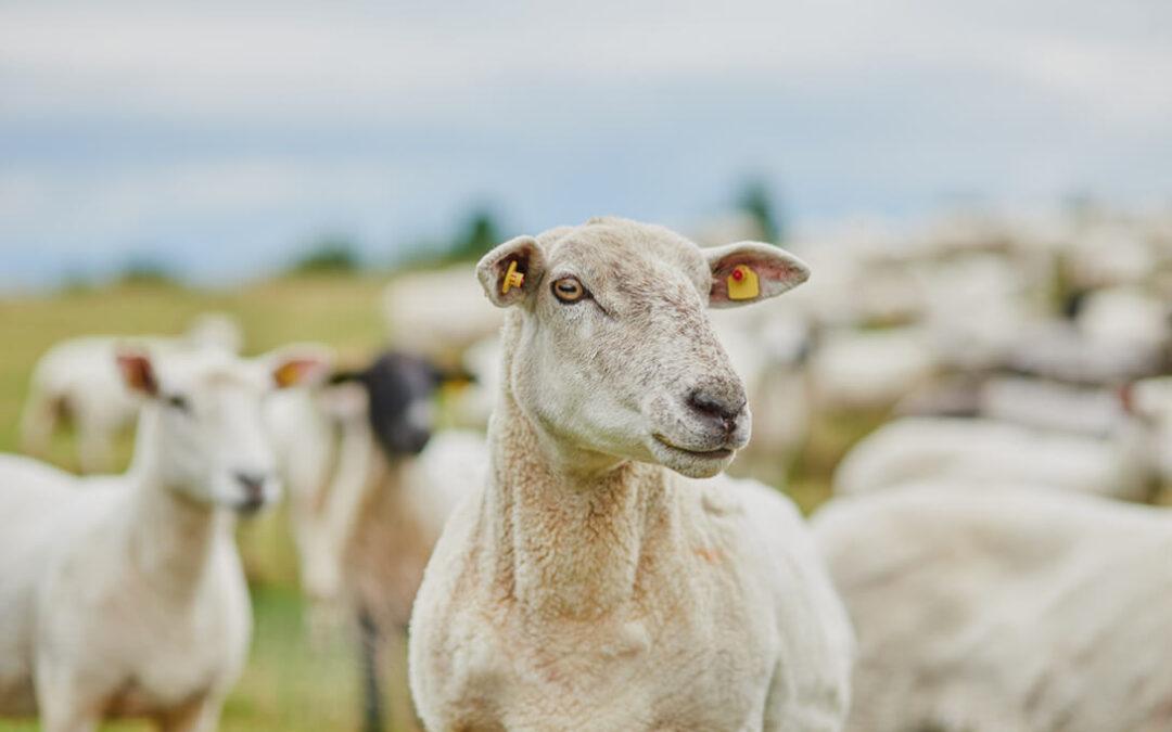La Xunta donará 150 corderos a distintas entidades sociales al amparo de la red Mercaproximidade
