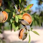Quejas en Andalucía porque se deja fuera de las ayudas a inversiones a los productores de secano como las de olivar o almendro