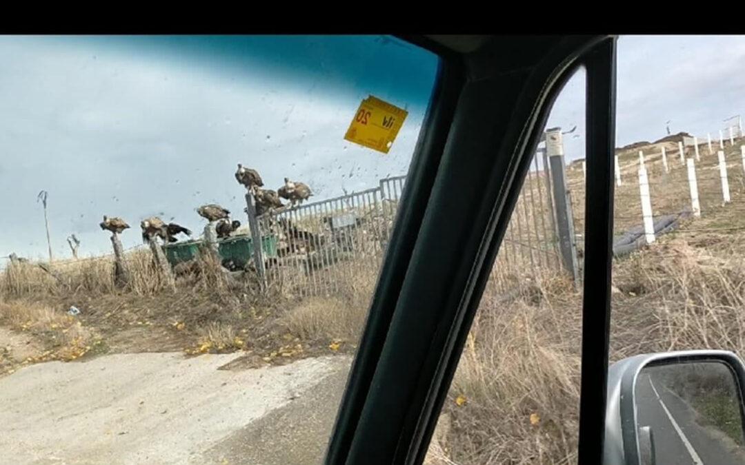 Los buitres atacan de nuevo en una explotación de ovino y deja patente la desprotección del ganadero frente a estos ataques