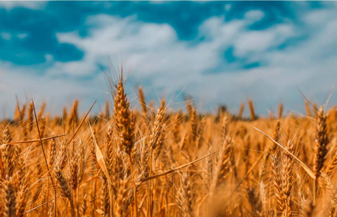 Buenos resultados de cereal de invierno de la red de ensayos de GENVCE para la campaña 2020