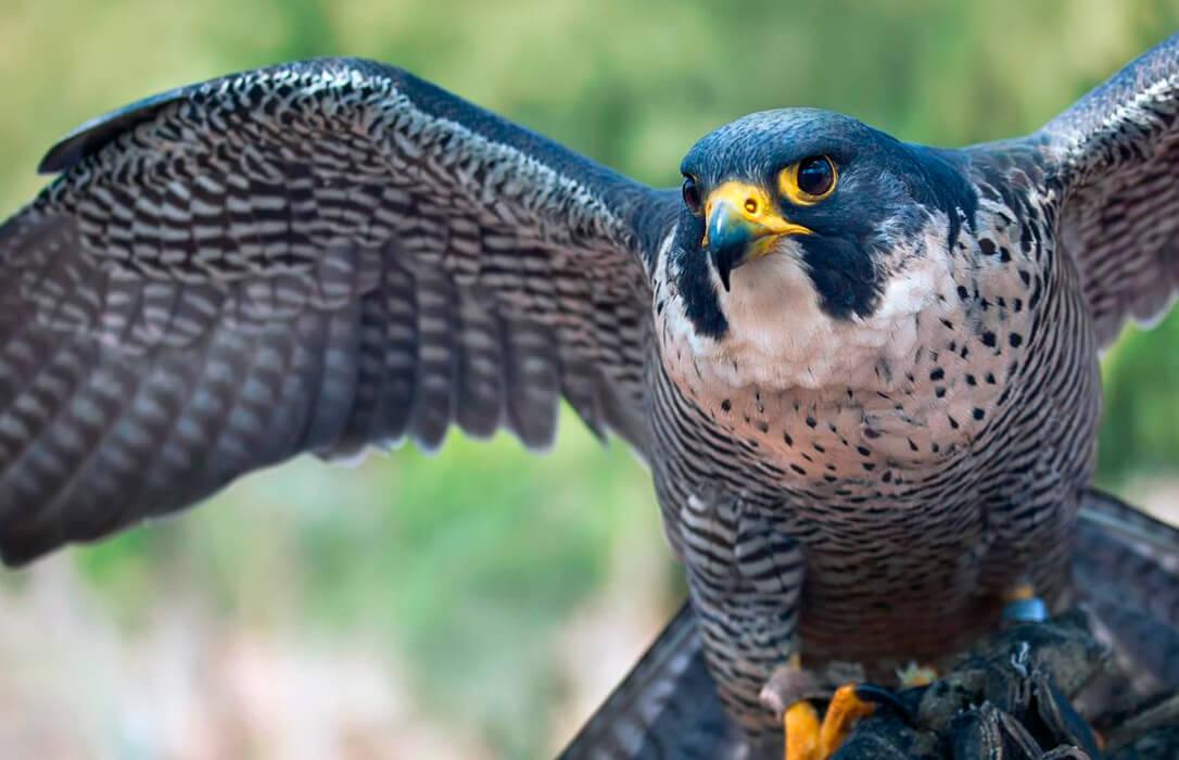 Primer aviso en España: Activado el protocolo de actuación ante la detección de un caso aislado de gripe aviar en un halcón