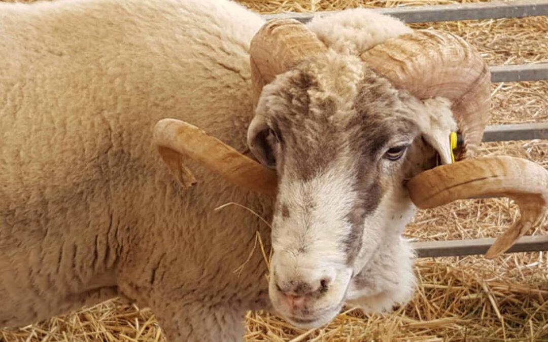 Hartos de ayudas diferentes por el Covid: Exigen equiparar las cuantías del vacuno, ovino y caprino con el resto de resto de líneas ganaderas