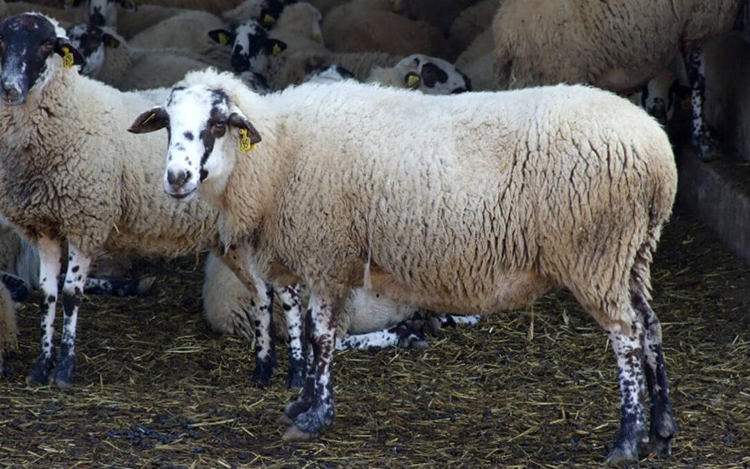 De vacunas y confinamientos… en el ganado: Piden medidas contundentes para frenar la lengua azul tras nuevos 5 focos