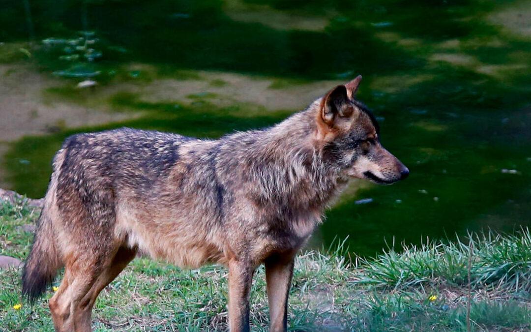 Protección del lobo: Acusan al sector ganadero de estar «manipulando a la opinión pública» al centrar el debate solo en los ataques