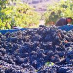 La producción de uva de vino protegida por el seguro agrario crece un 28% en los últimos cinco años