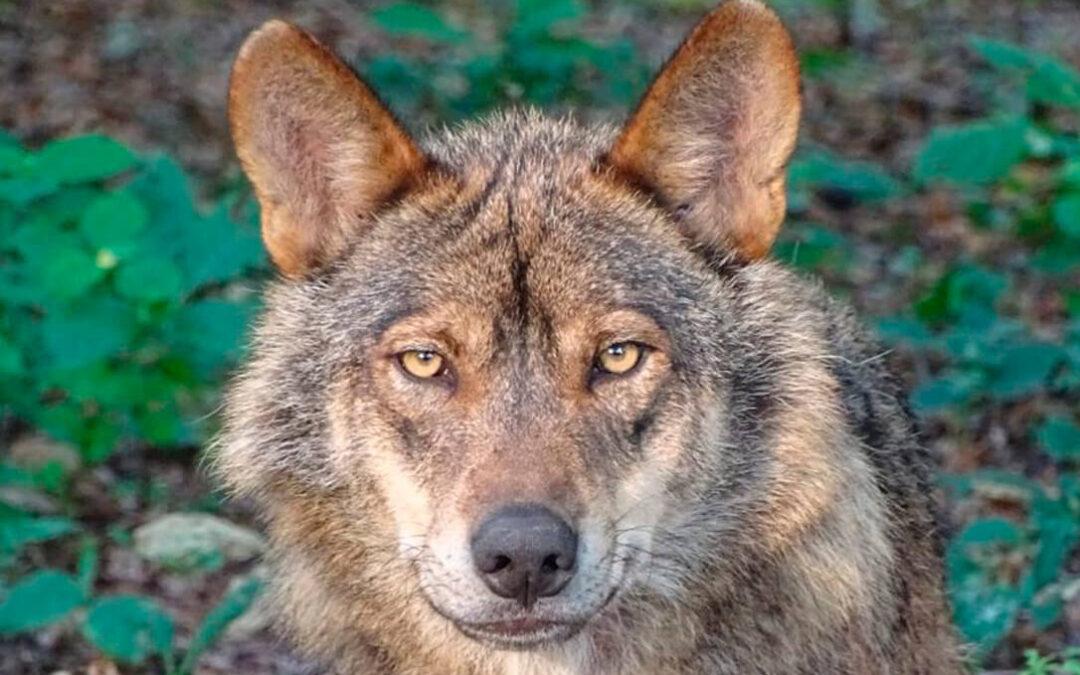 Transición Ecológica desoye al sector al incluir al lobo en Protección Especial y busca cómo evitar su mortandad pero no la del ganado